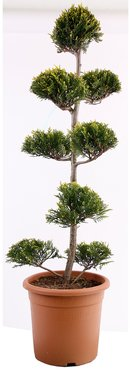 cupressocyparis leylandii 39 castlewellan gold 39 pom pom bonsai formschnitt online kaufen. Black Bedroom Furniture Sets. Home Design Ideas
